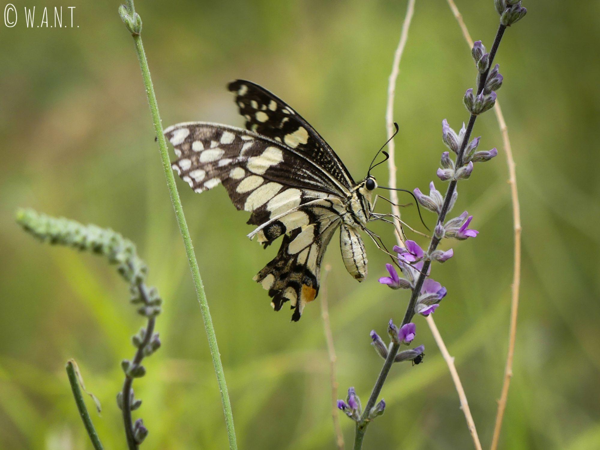 Papillon sur la randonnée Valley of the Winds Walk du parc national Uluru-Kata Tjuta