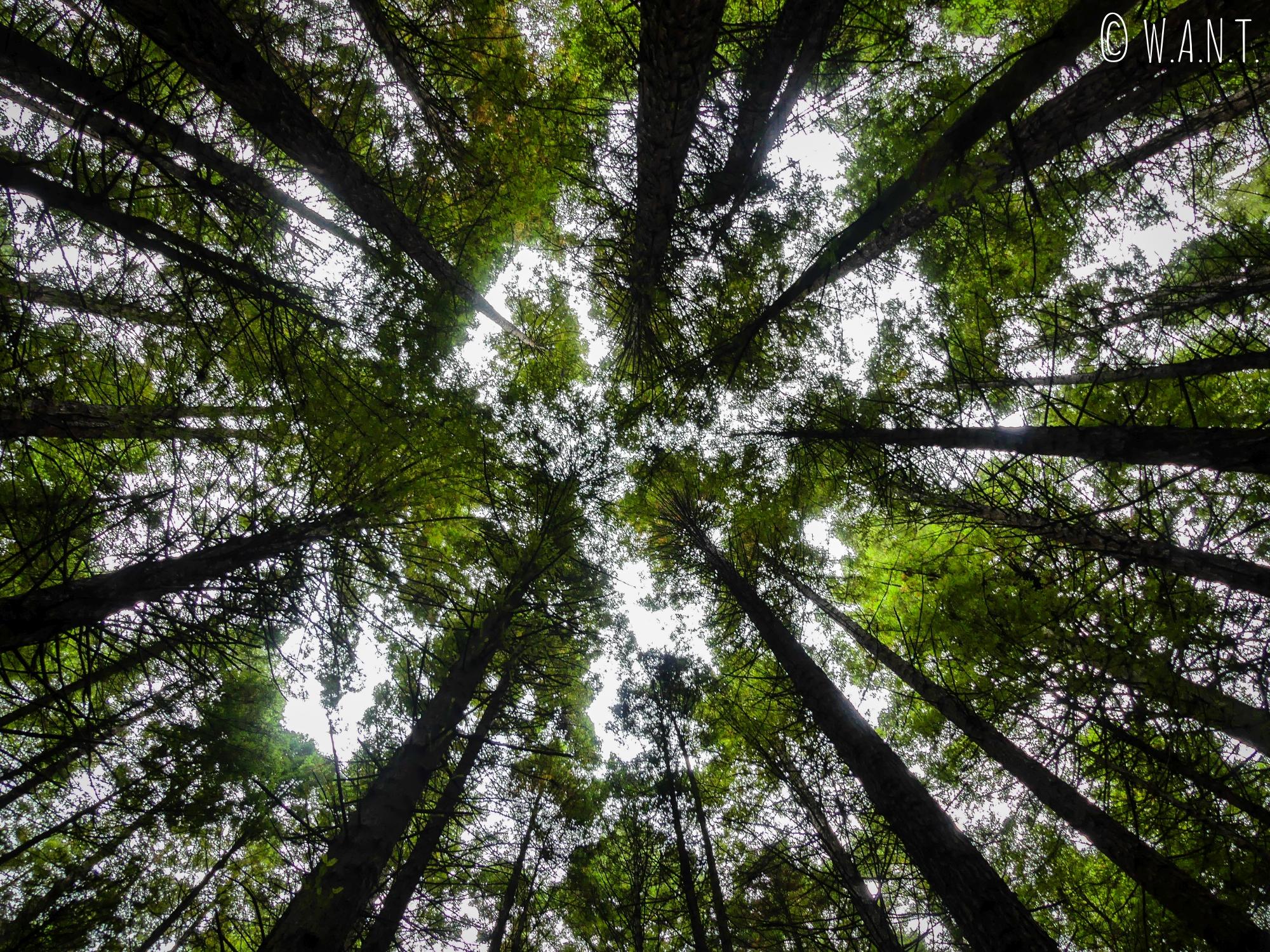 Canopée de la Redwoods Forest, près de Rotorua en Nouvelle-Zélande