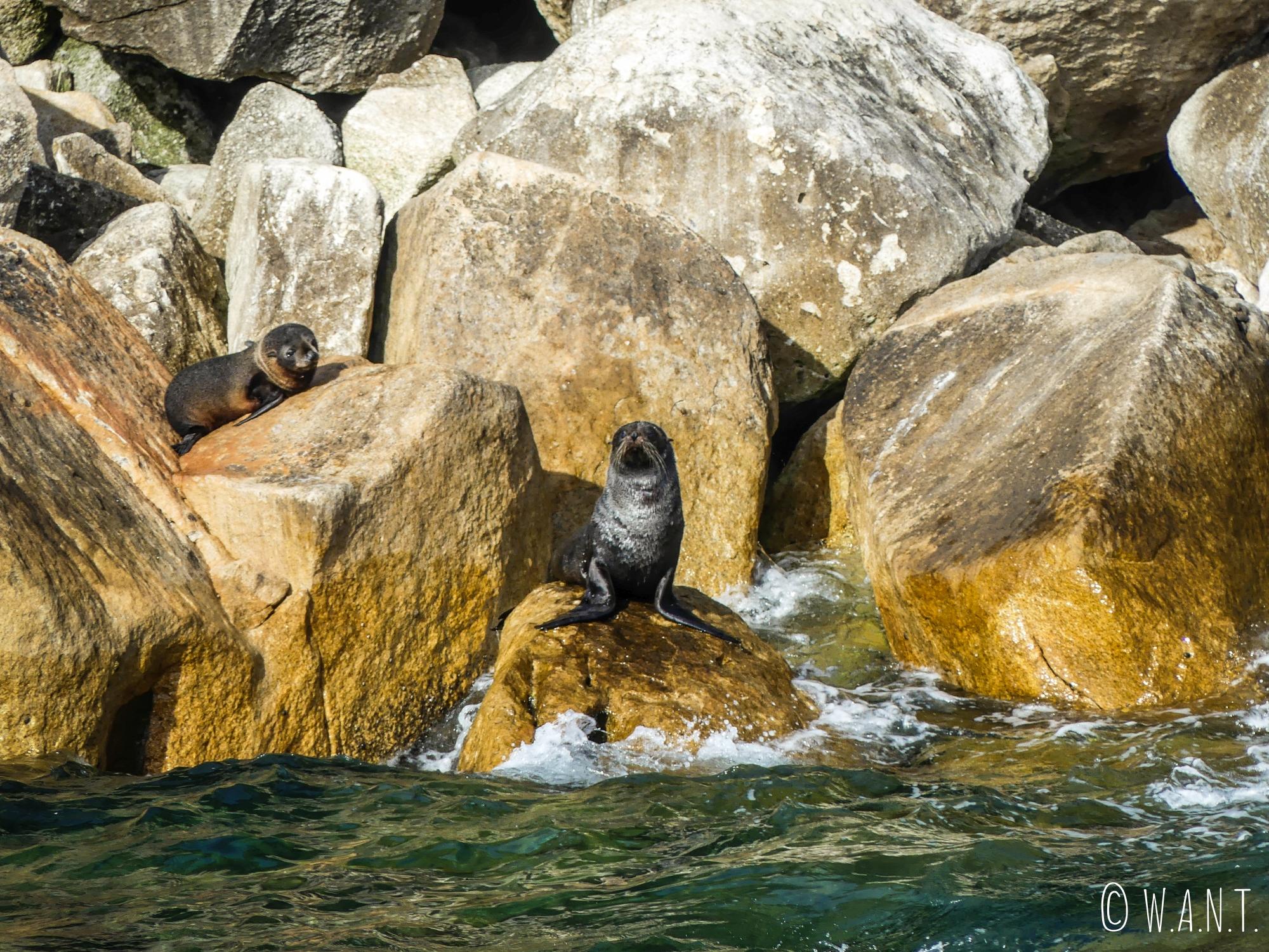 Colonie de phoques installée sur Adele's island en face du parc national Abel Tasman en Nouvelle-Zélande