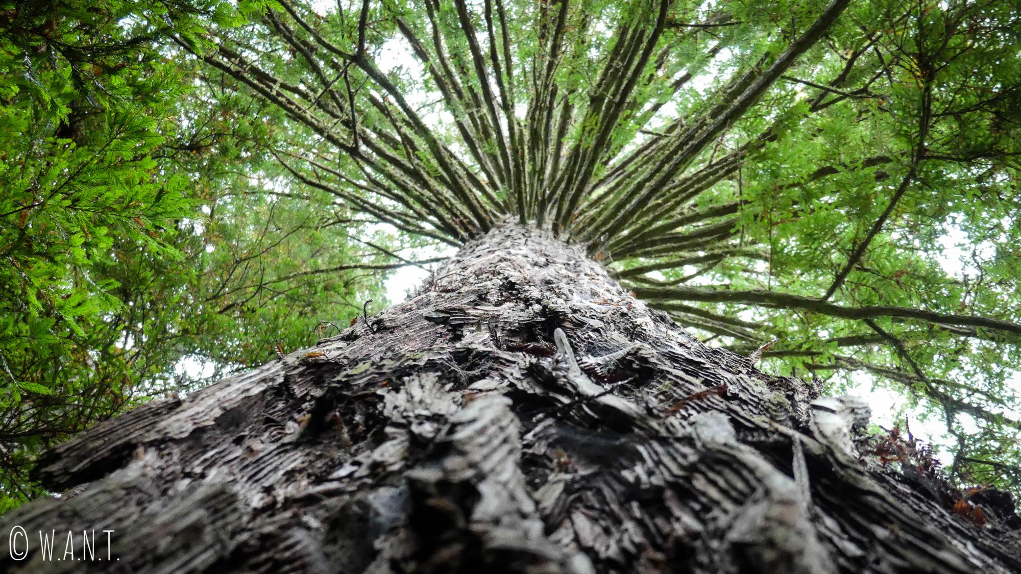 Les Redwoods près de Rotorua en Nouvelle-Zélande, sont gigantesques