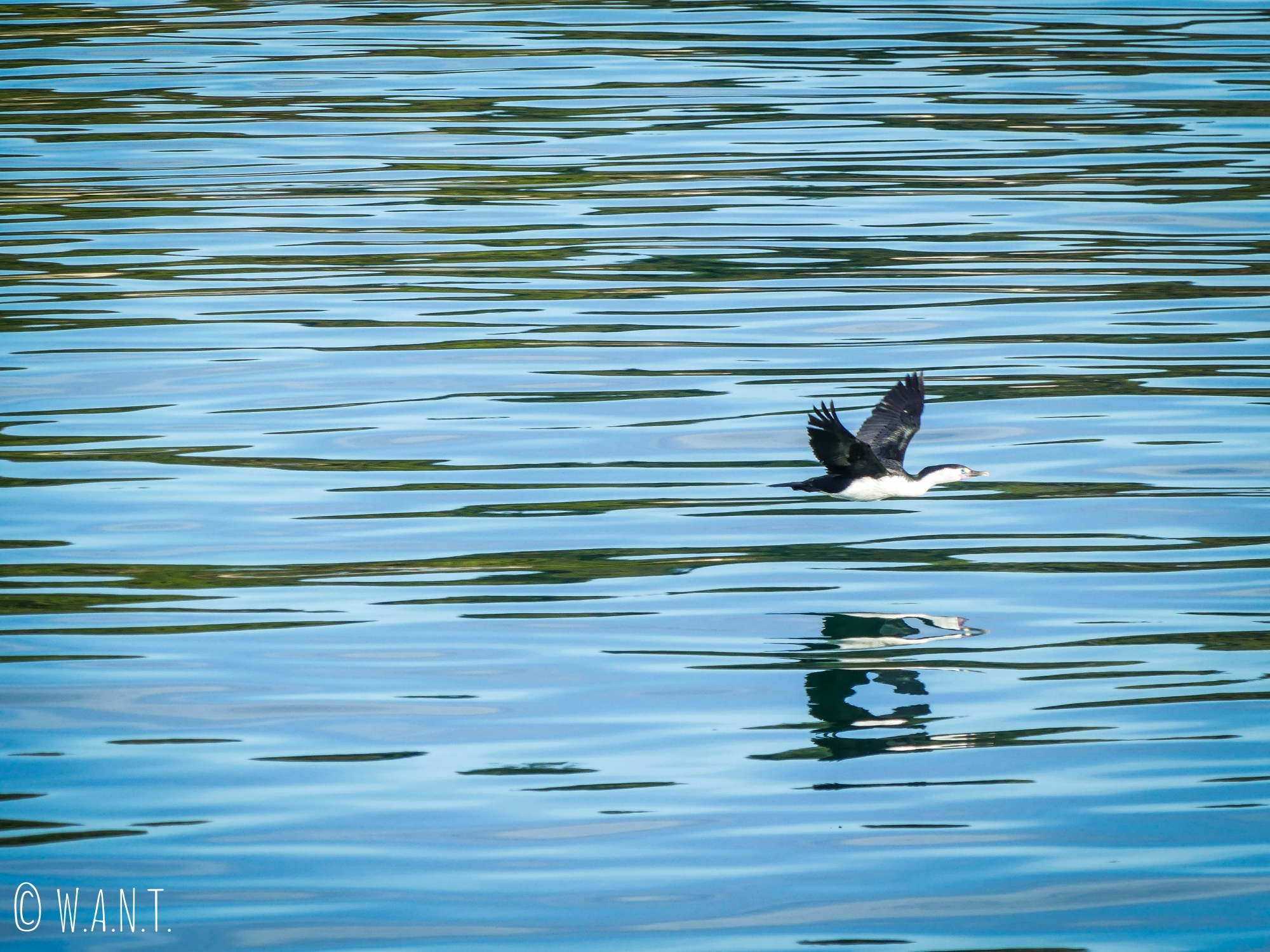 Vol de cormorant au-dessus des eaux de la baie de Tasman en Nouvelle-Zélande