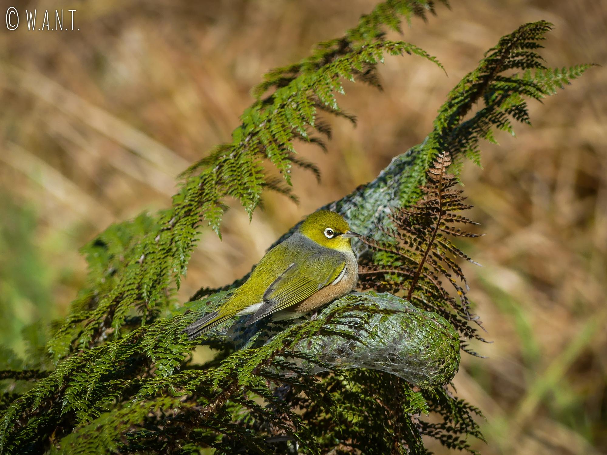 Silvereye rencontré autour du lac Matheson en Nouvelle-Zélande