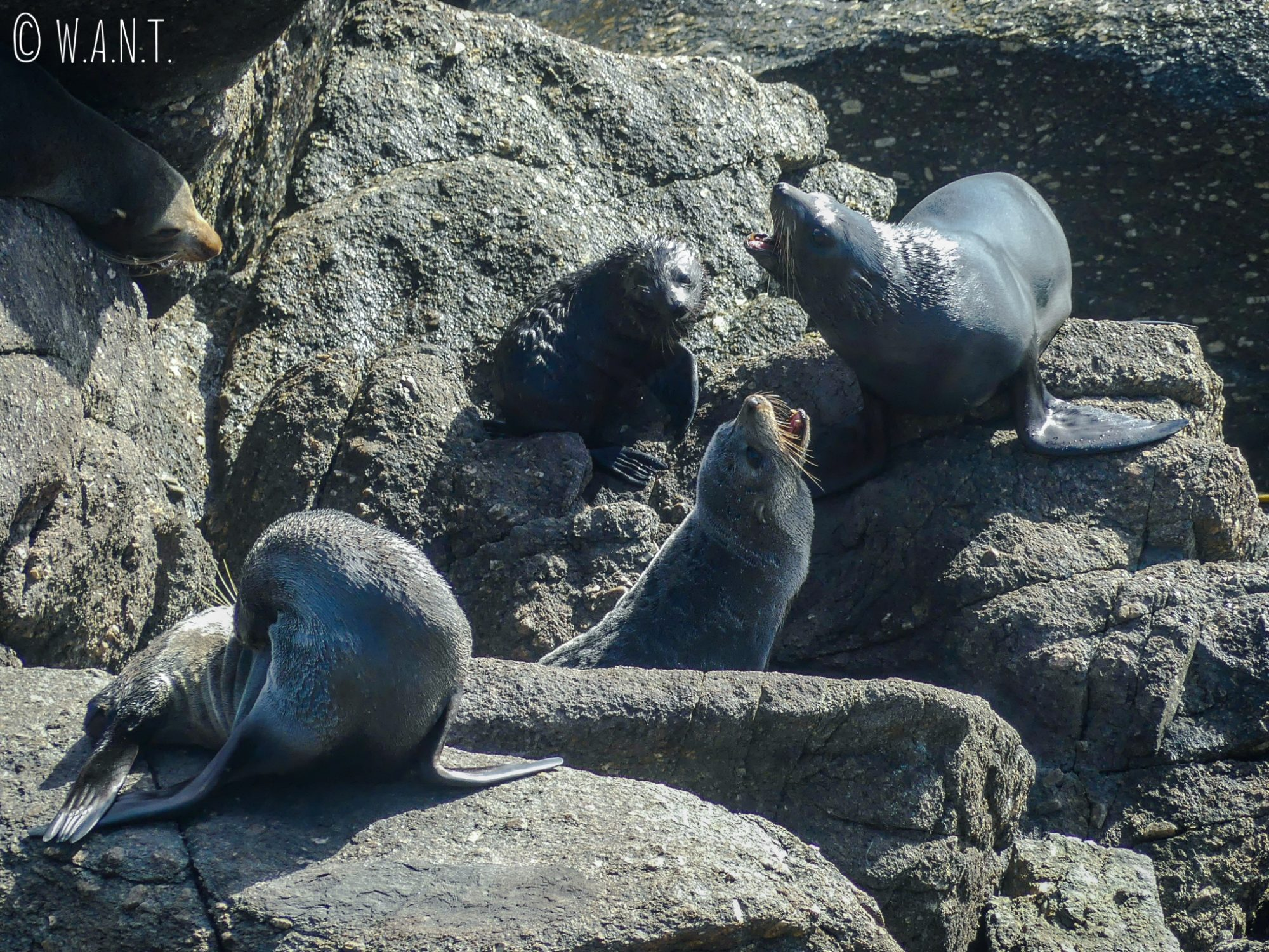 Une colonie de phoques est installée à Tauranga Bay en Nouvelle-Zélande