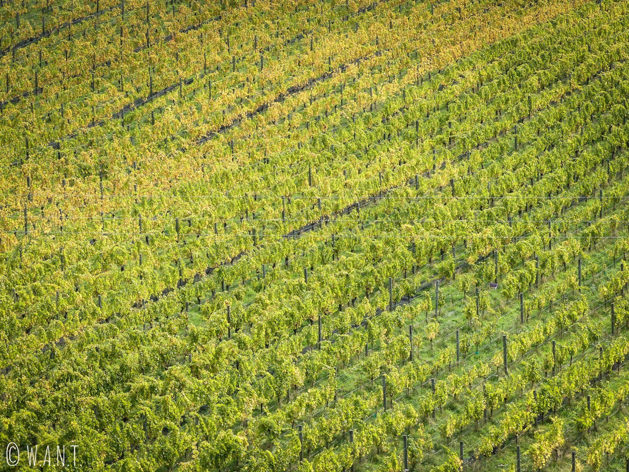 Gros plan sur les vignes du domaine Rippon en Nouvelle-Zélande