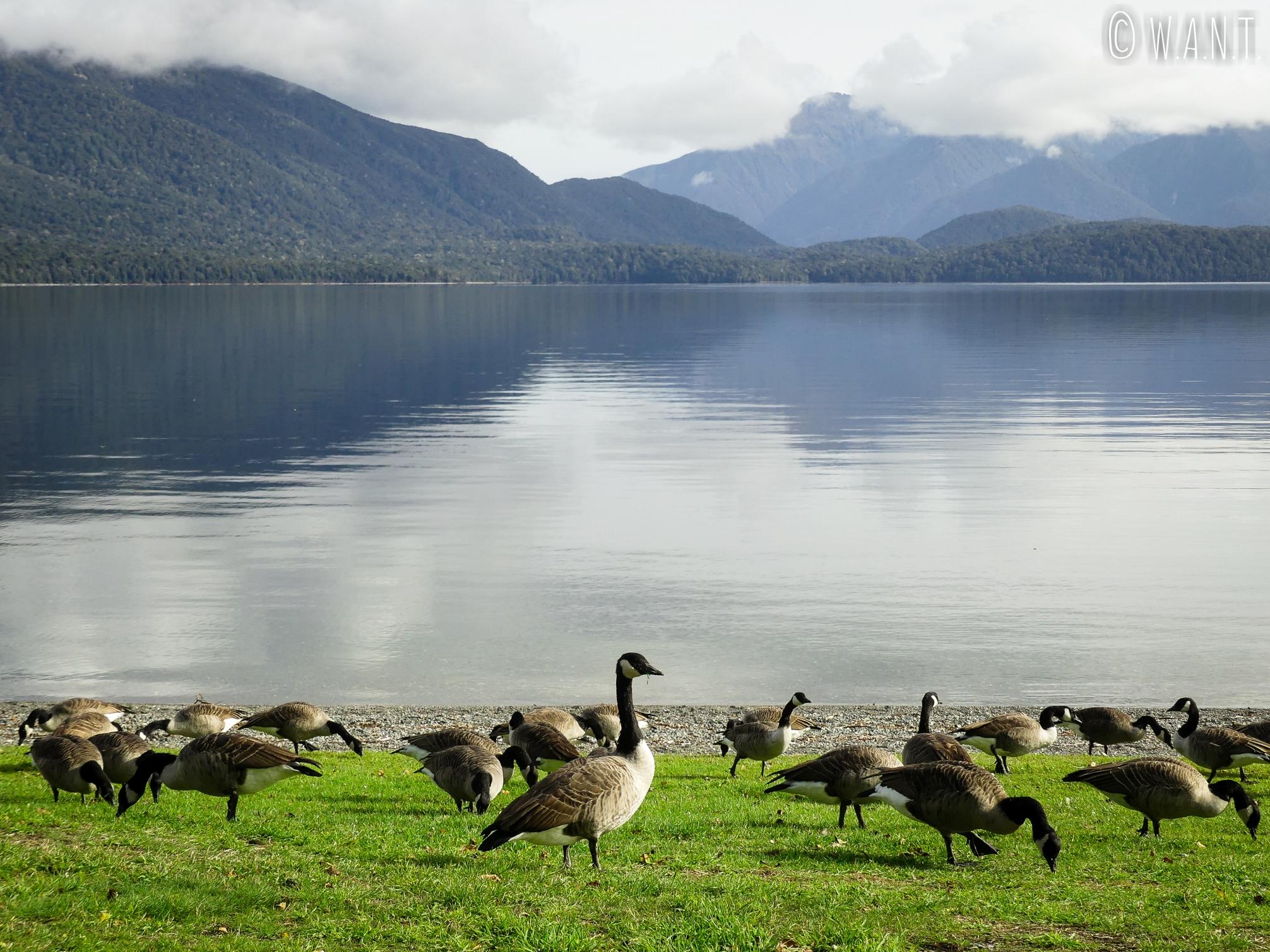 Les bernaches ont élu domicile au bord du lac de Te Anau en Nouvelle-Zélande
