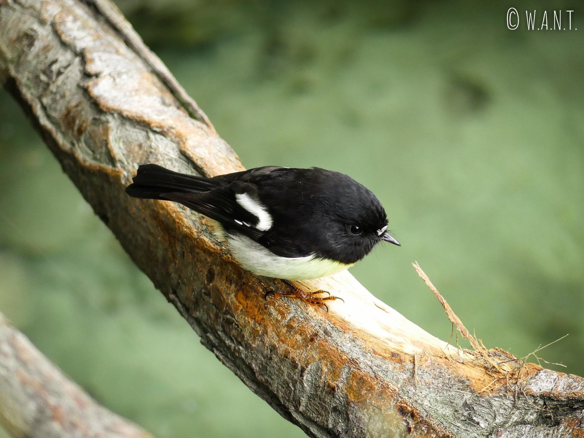 Les oiseaux nous accompagnent durant notre promenade au Ivon Wilson Park de Te Anau en Nouvelle-Zélande