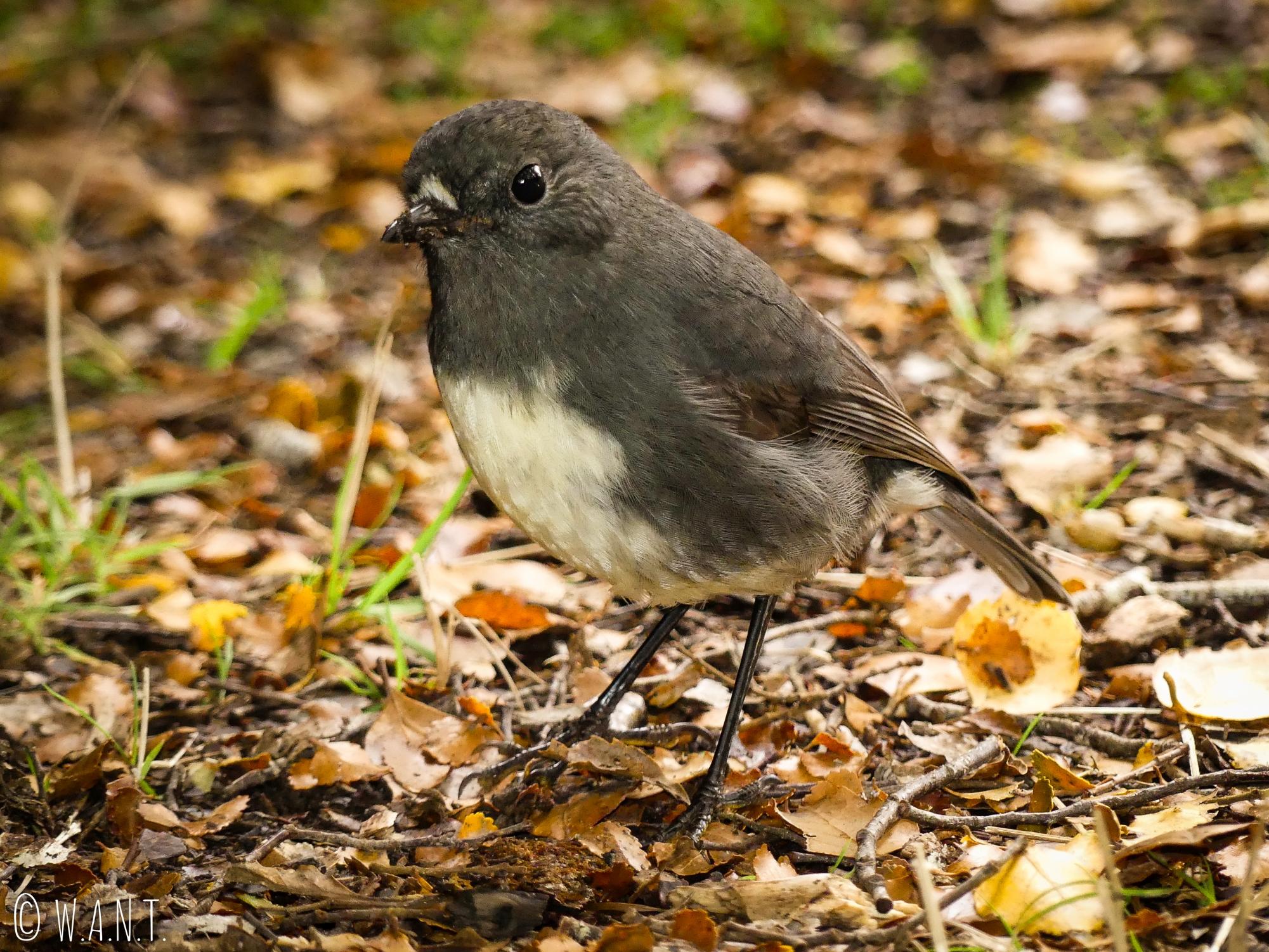 Nous rencontrons de nombreux oiseaux lors de notre promenade à Te Anau en Nouvelle-Zélande