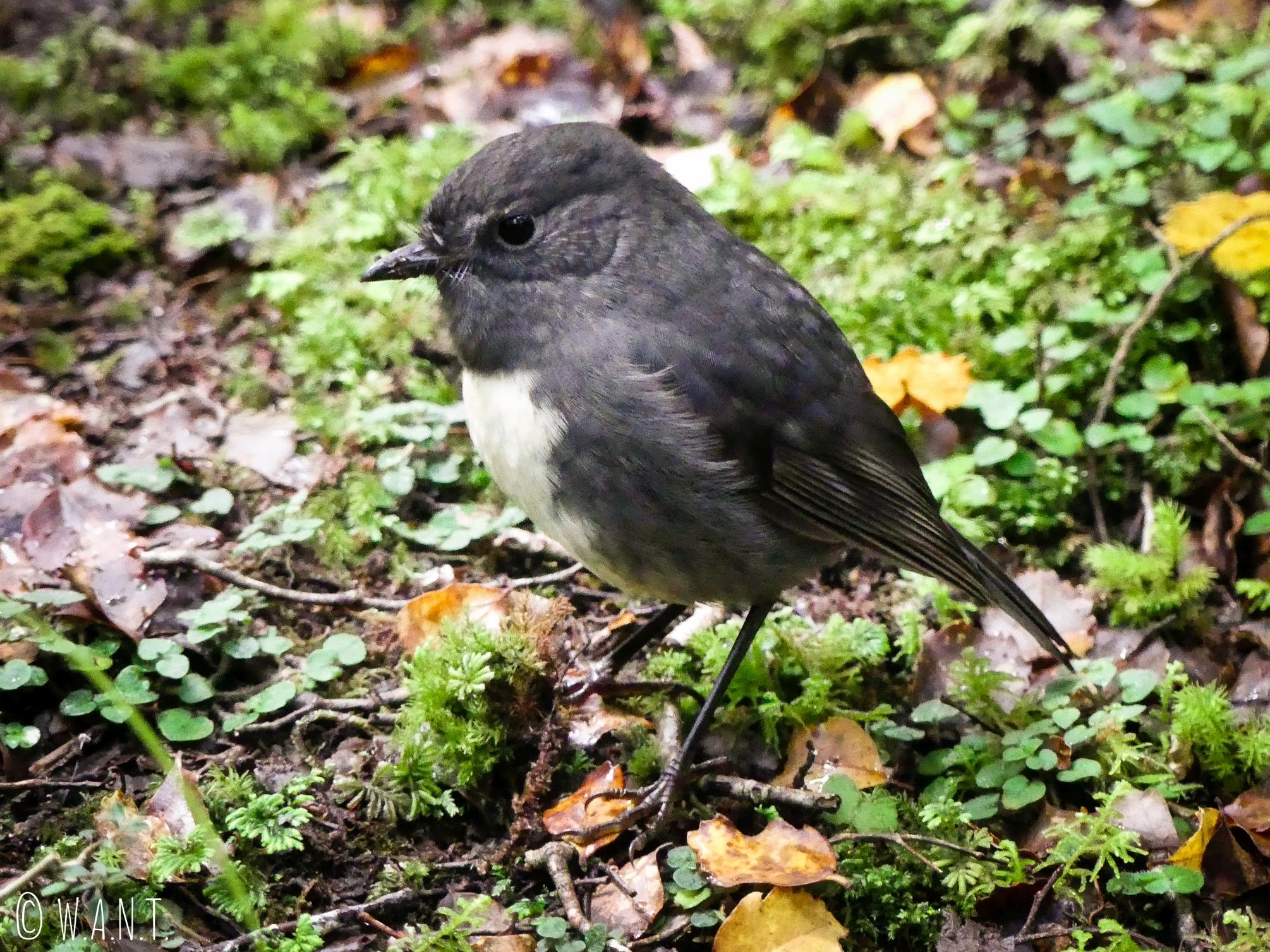 Nous sommes accompagnés par les oiseaux durant notre randonnée au Gunn Lake en Nouvelle-Zélande