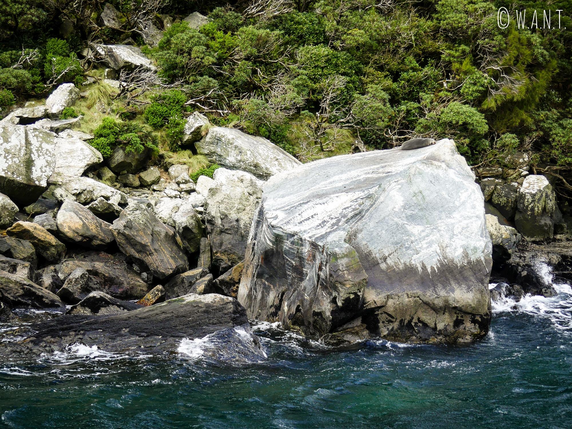 Phoque installé sur un rocher observé durant notre croisière sur le Milford Sound en Nouvelle-Zélande